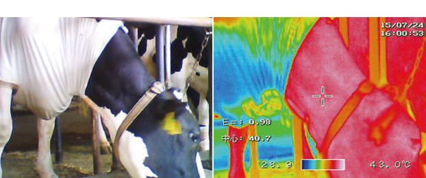 サーモグラフィーの画像 ※記載のデータは、京都府農林水産技術センター畜産センターでの評価によるものです。